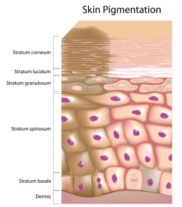 Diagram of Skin Pigmentation